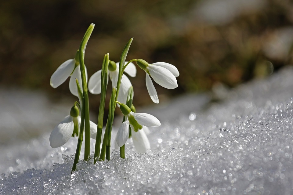 flowers-poking through-snow-spring