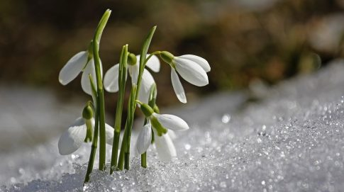 flowers-poking through-snow-spring